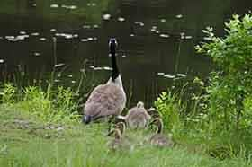 Canada Goose and her hatchlings approaching the water of a pond.